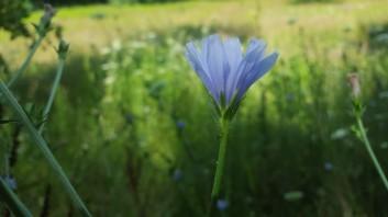 A differnt sky-blue flower